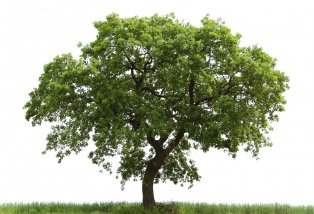 Inspirational Images  sc 1 st  Snapwire & Snapwire - Large tree with wide canopy and trunk.